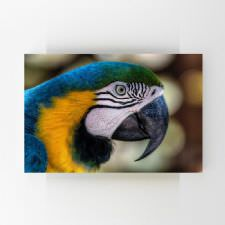 Makaw Papağanı Tablosu