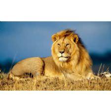 Afrika Safarisinde Aslan Tablosu